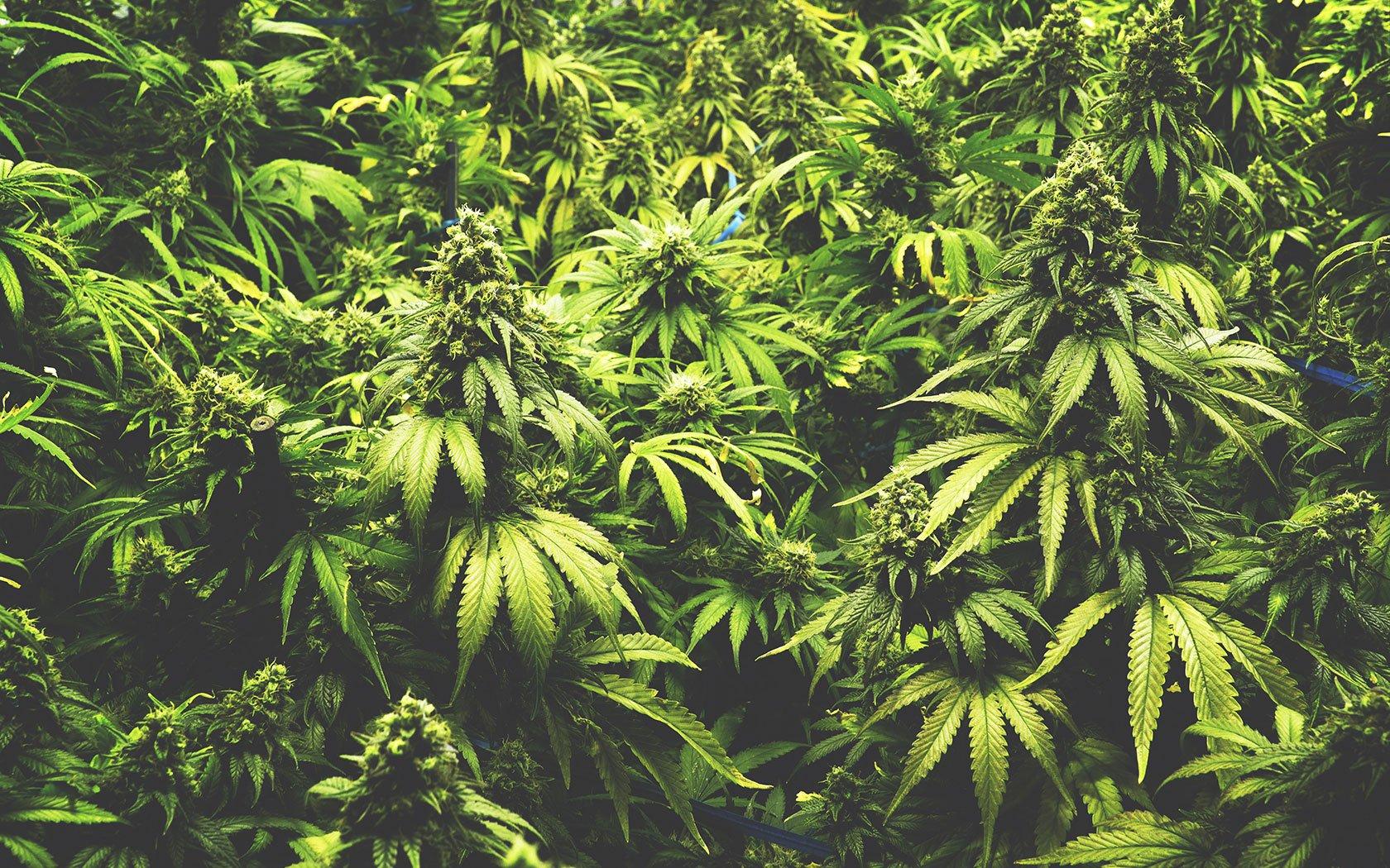 Cannabis: la rivoluzione