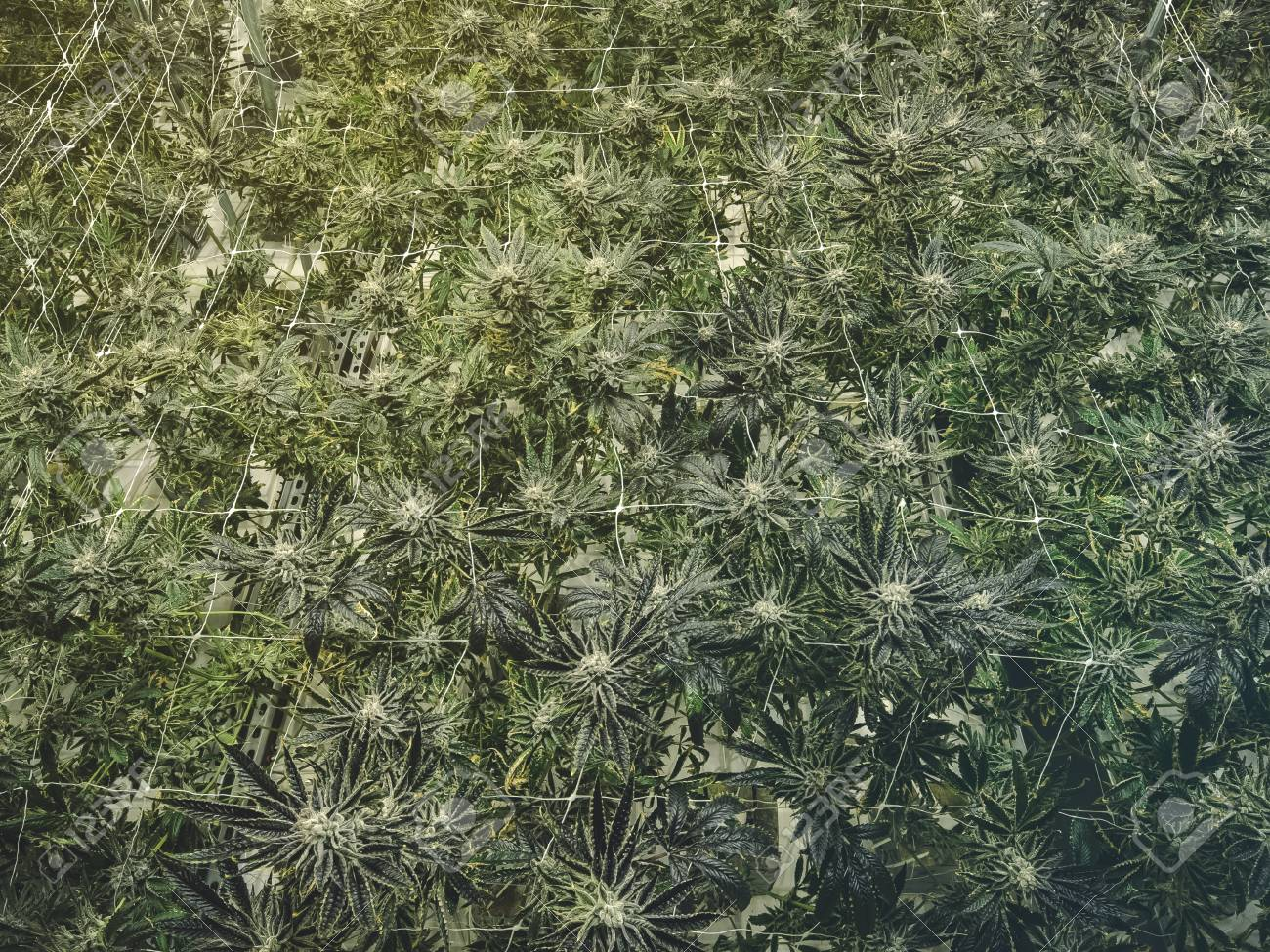 Marijuana in casa: arrestato