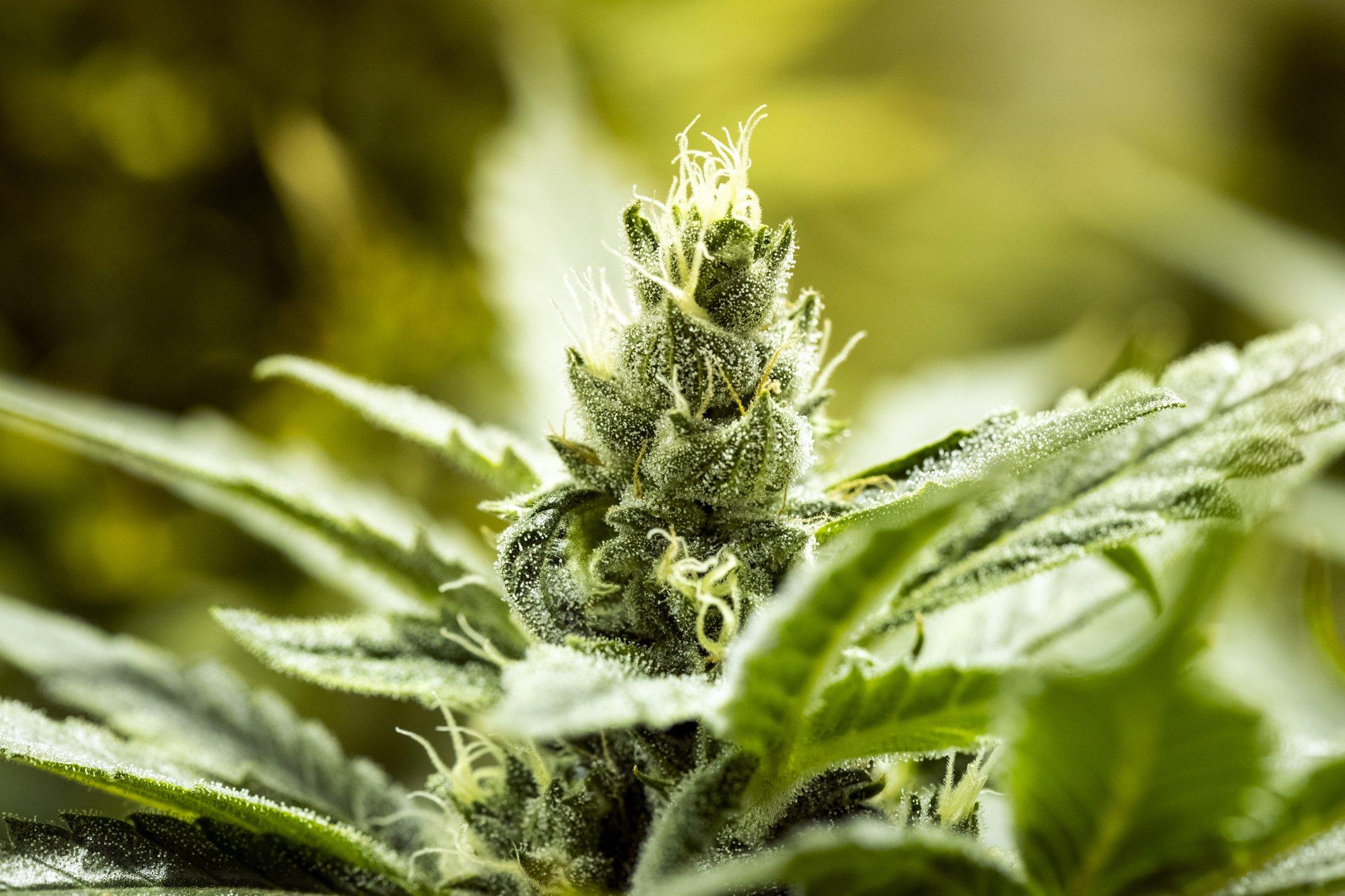 Australia: legalizzata la cannabis nella capitale