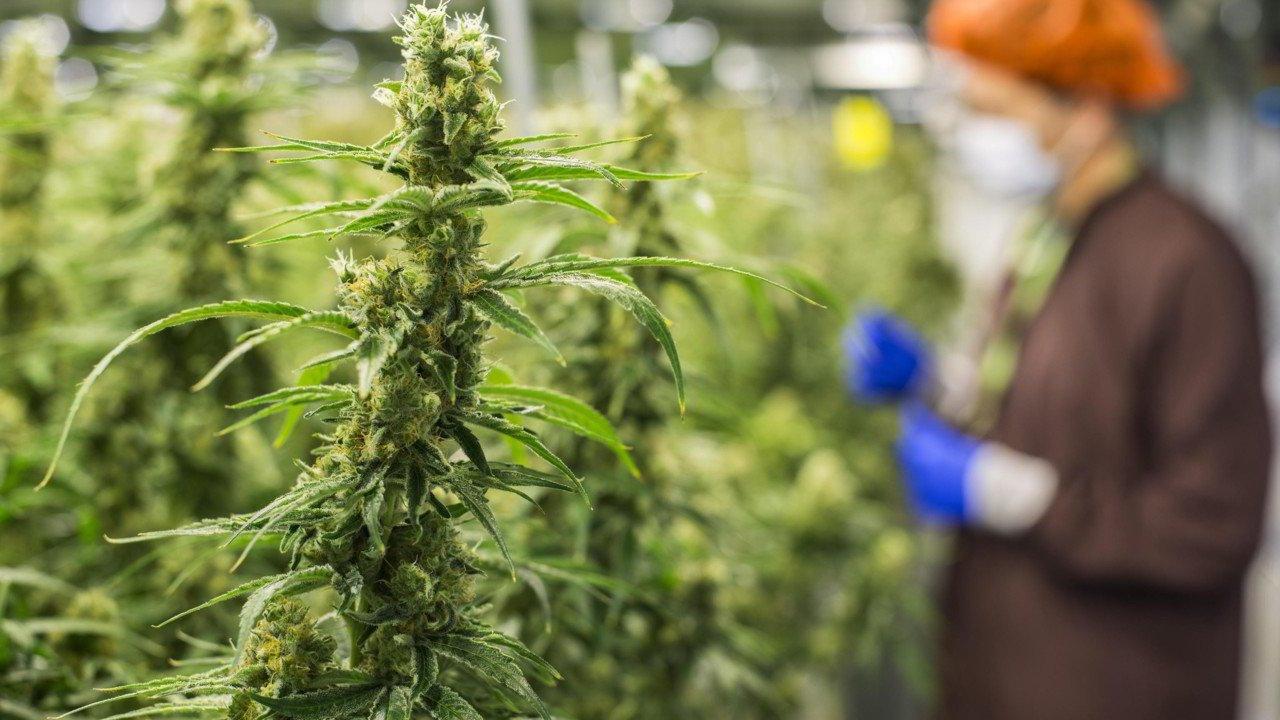 Cannabis, i pazienti: ora non possiamo più aspettare, coltiviamo noi