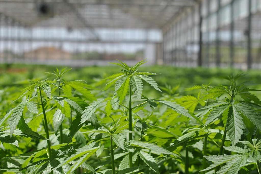 Serra per coltivare cannabis: arrestato 23enne