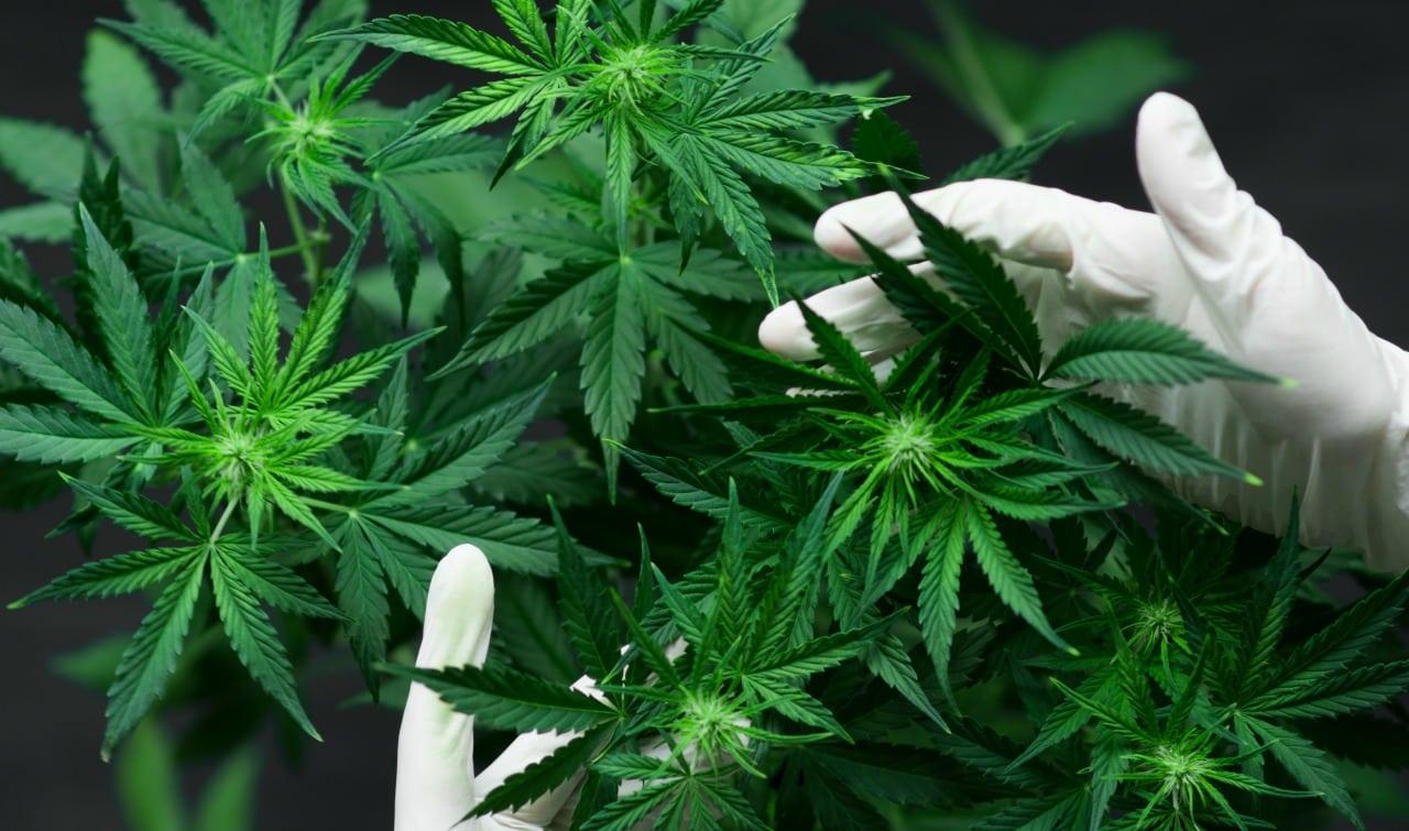 No, la Cannabis non è la cura per il Coronavirus