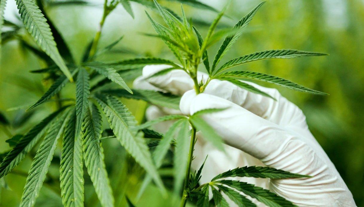 Bergamo, infermieri e dottori ricevono Cannabis light