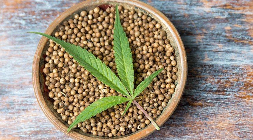 Usi dei semi di cannabis dopo il sì della Cassazione