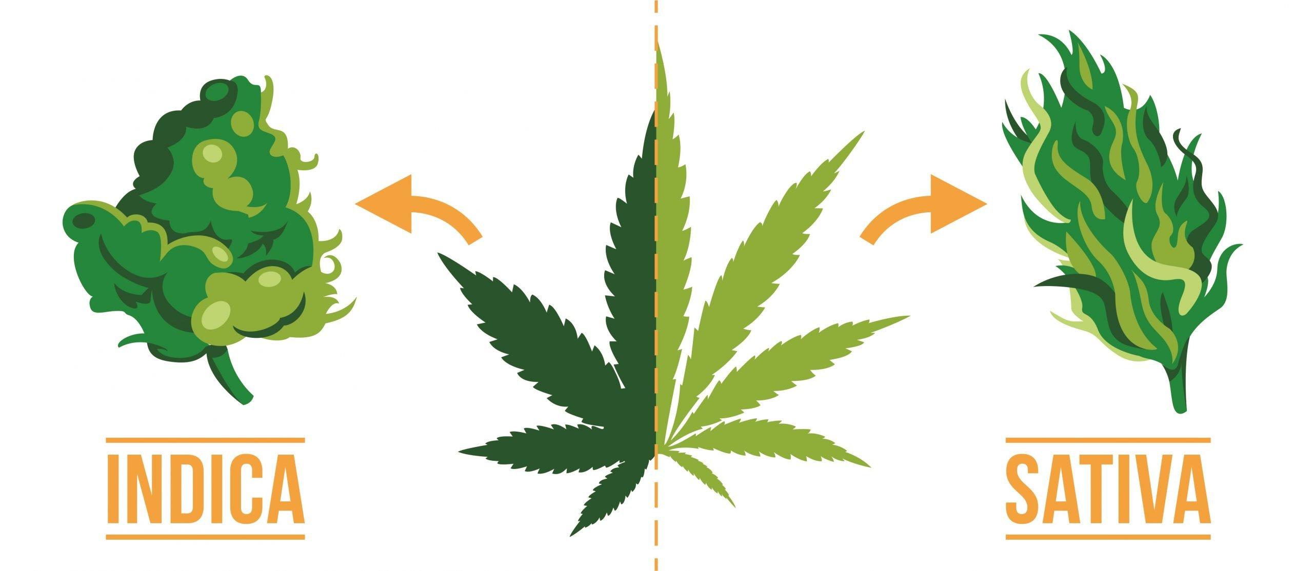 Cannabis, Indica e Sativa a confronto
