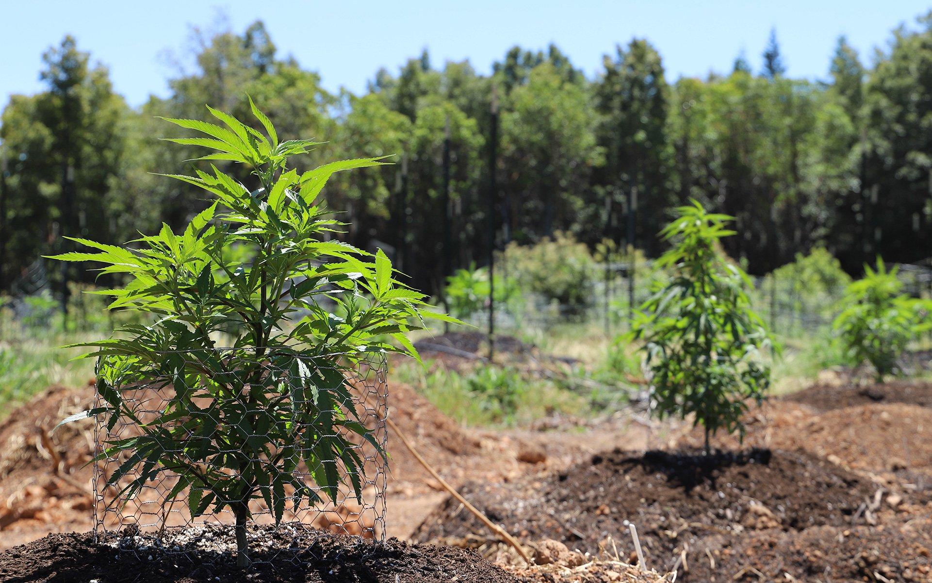 Cannabis: quale possiamo coltivare legalmente