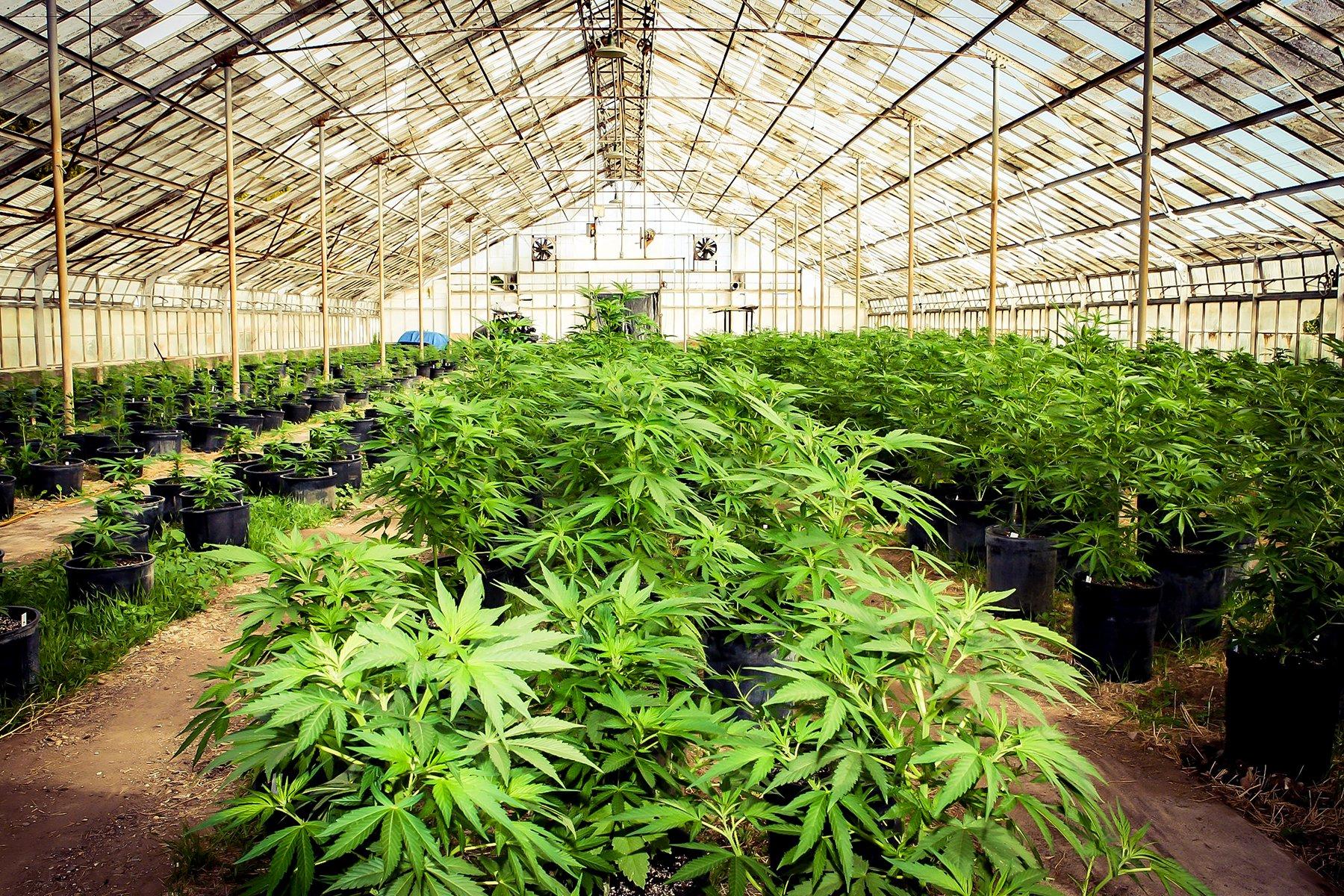 USA – La legalizzazione della marijuana ha fatto calare i profitti dei cartelli messicani