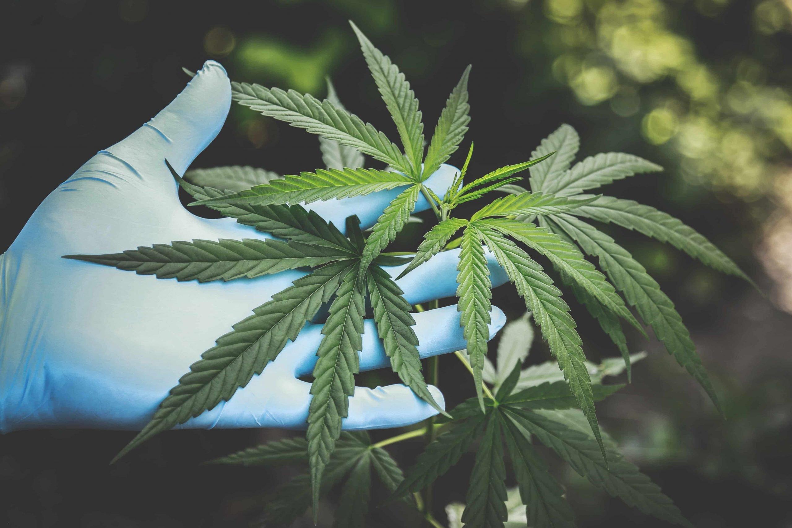 Maggiore chiarezza sui semi e la coltivazione di cannabis