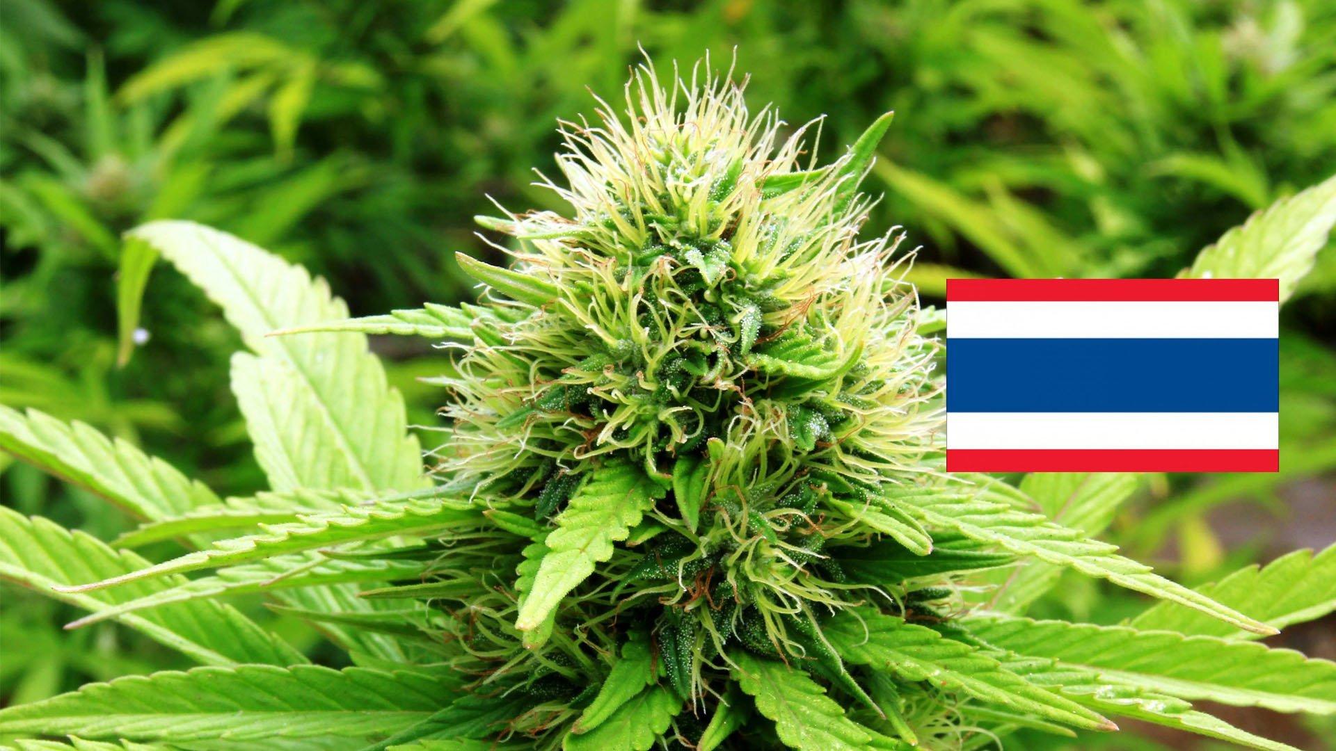 TAILANDIA – Cannabis terapeutica. Ok Governo per coltivazione, produzione ed esportazione