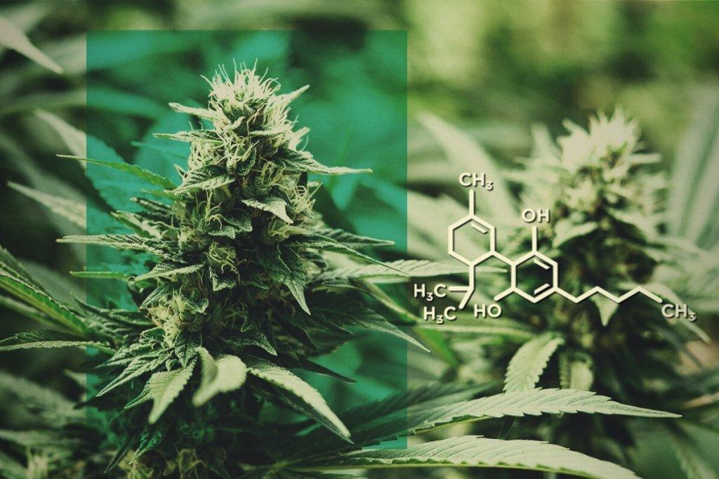 Come si può utilizzare la cannabis legale?