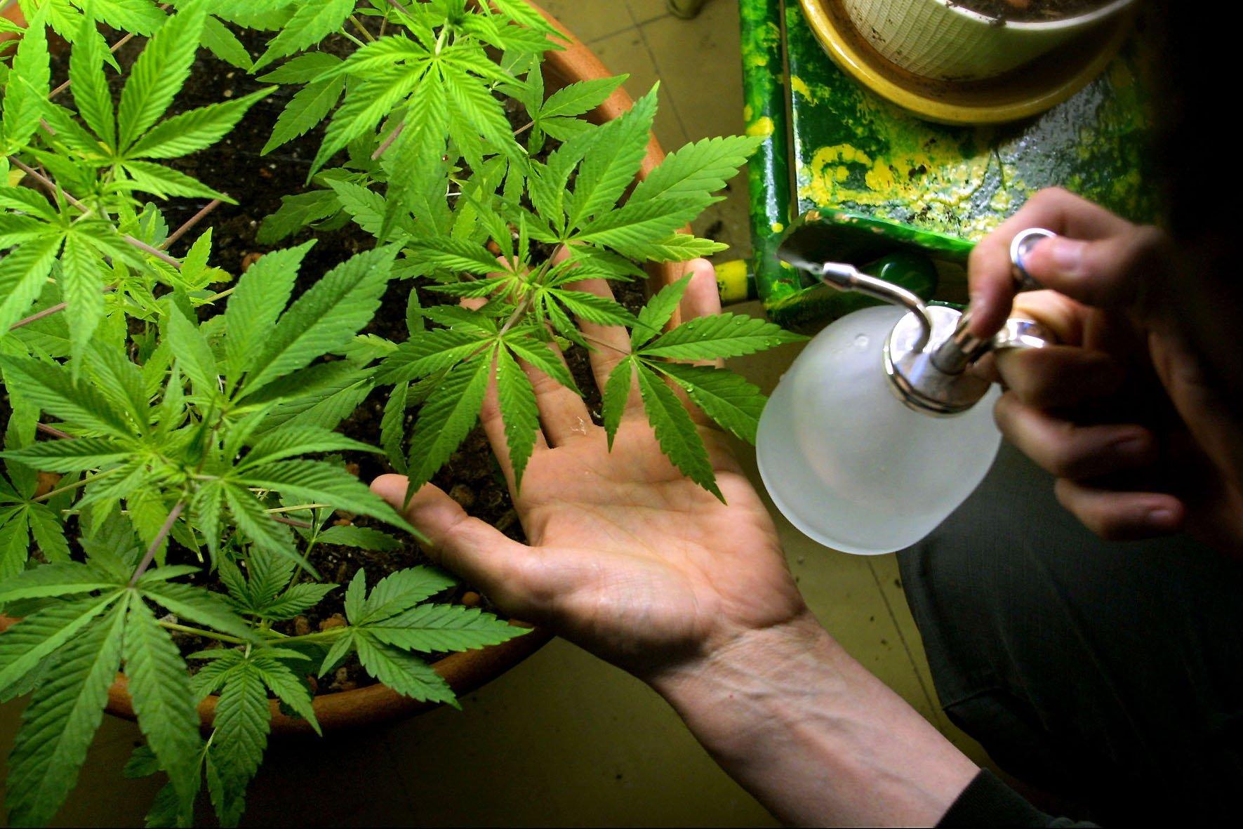 Si può far crescere cannabis medica a casa in Italia?