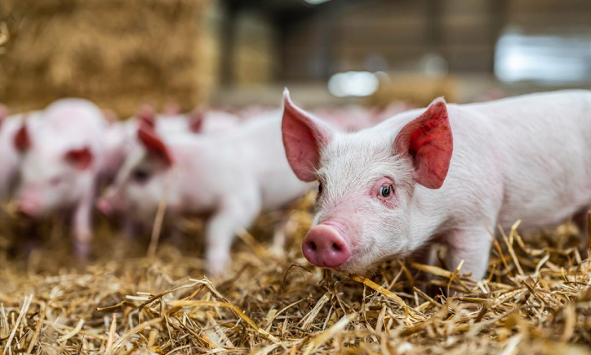 carne di maiale alla cannabis